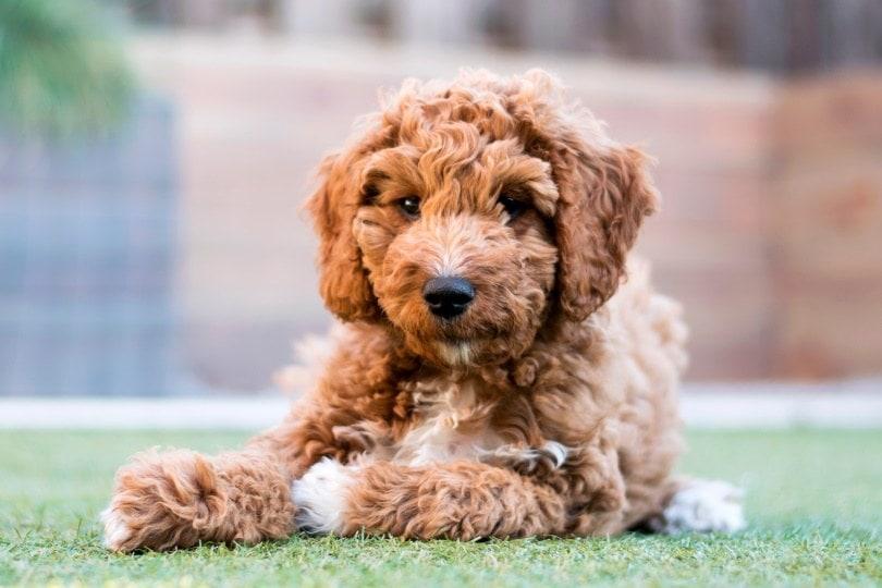 irish doodle puppy_Joca de Jong_Shutterstock