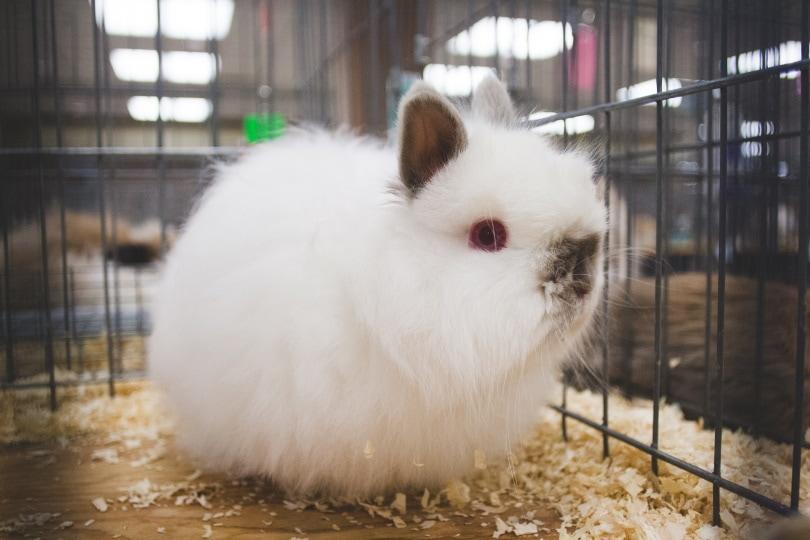 jersey wooly rabbit_laurendotcom_Shutterstock