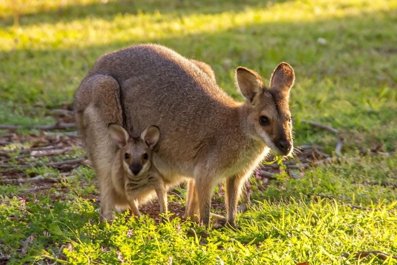 kangaroo_sandid_Pixabay