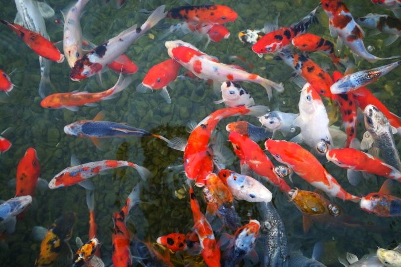 koi fish farm_Piqsels