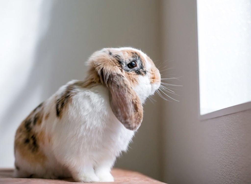 lop eared rabbit indoor