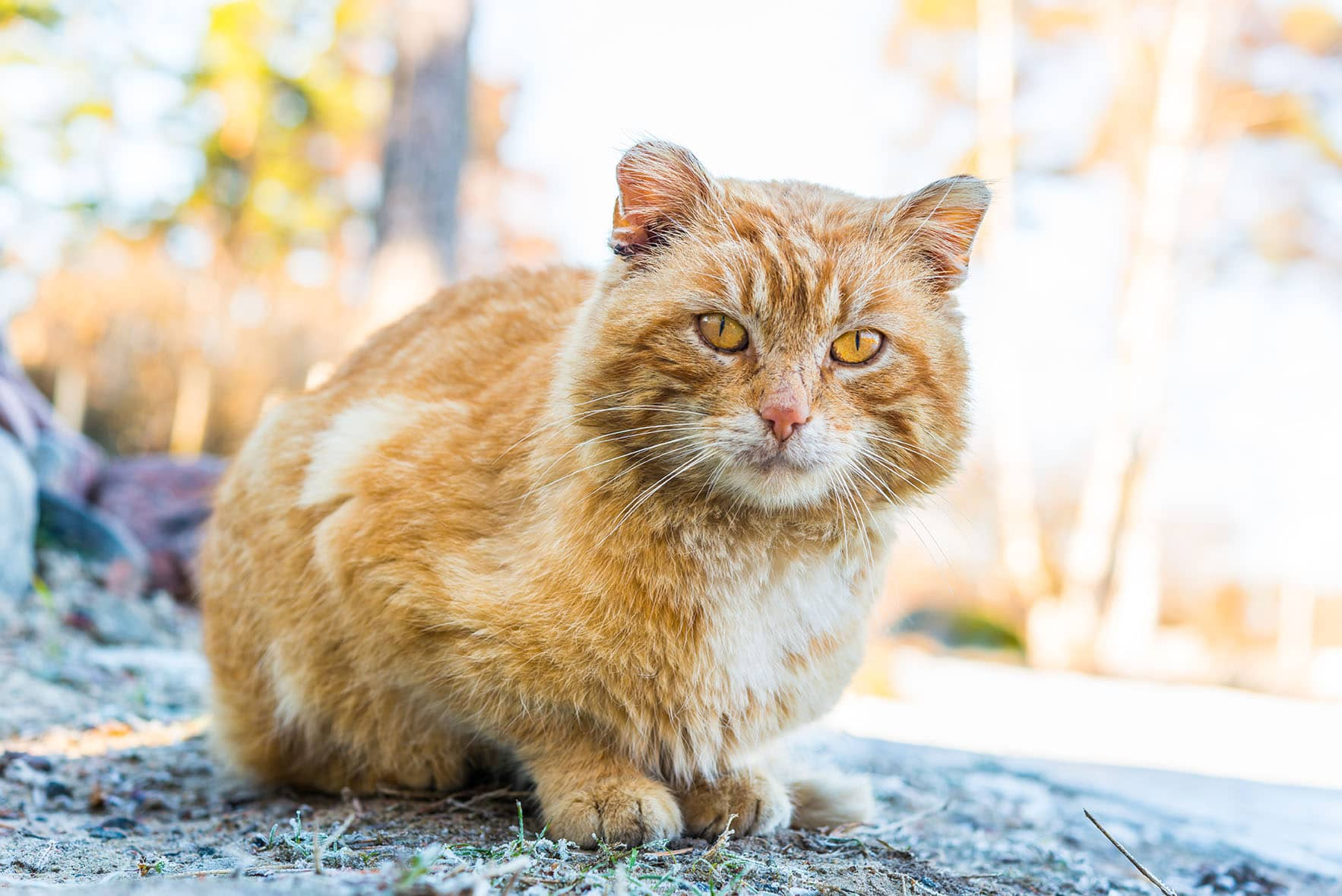 old and shabby cat