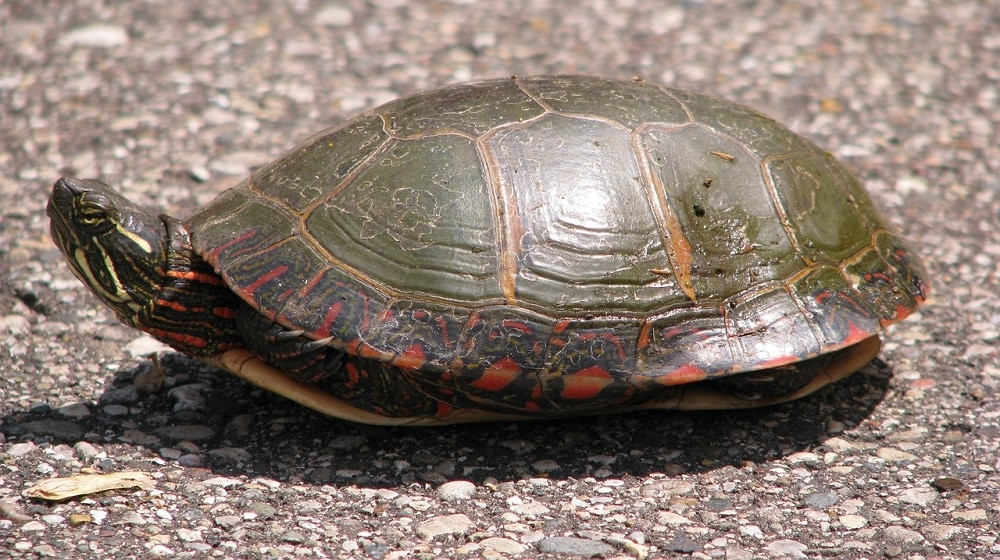painted turtle on the ground