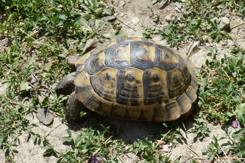 pancake tortoise eating grass_Piqsels