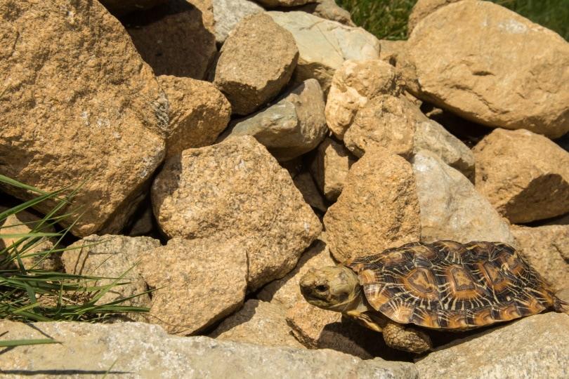 pancake tortoise in rocks_Jay Ondreicka_Shutterstock