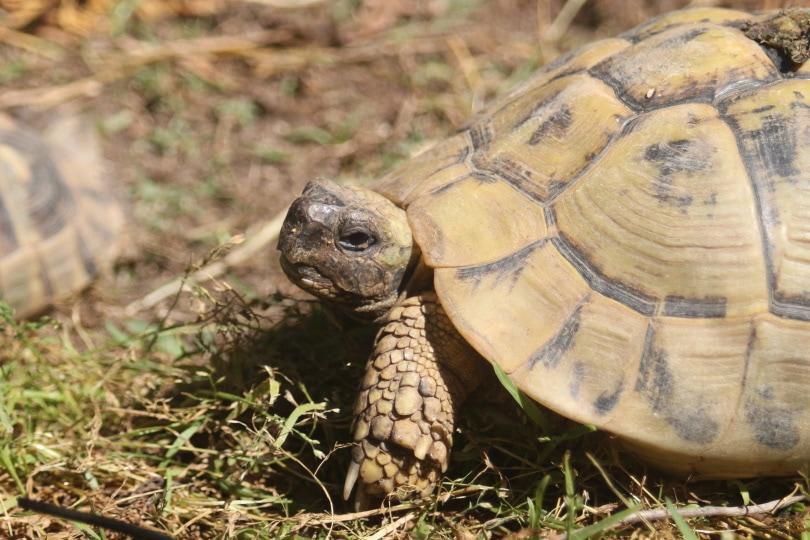 pancake tortoise walking_Piqsels