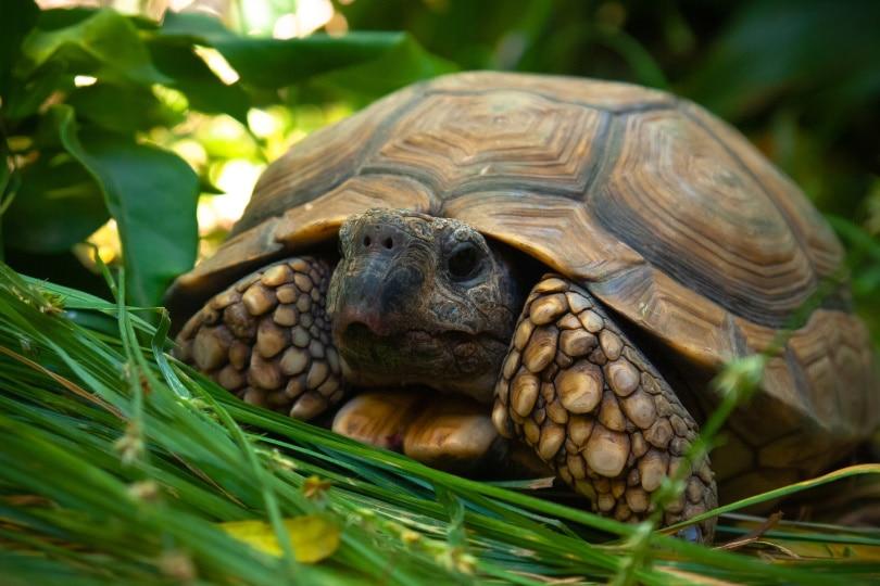 pancake tortoise_Pabliyo_Pixabay
