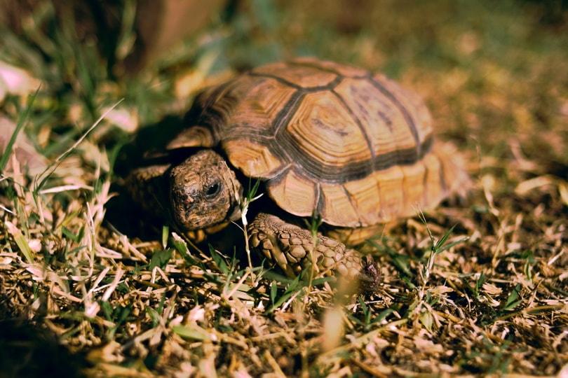 pancake tortoise_fatii_010_Pixabay