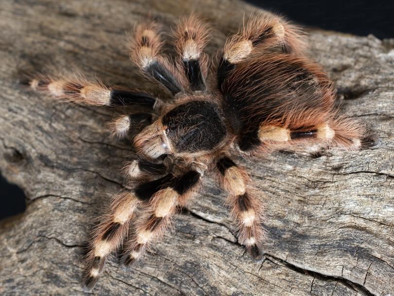 pink toe tarantula in wood_Pixabay