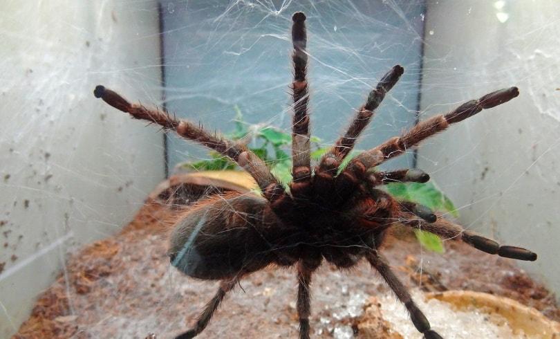 pink toe tarantula tank_Jan Mallander_Pixabay