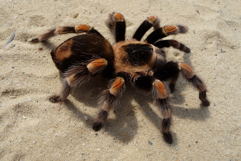pink toe tarantula_Piqsels