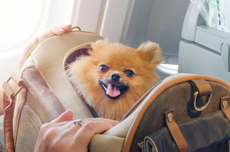 pomaranian-spitz-in-a-travel-bag_nadisja_shutterstock