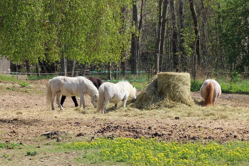 ponies eating hay