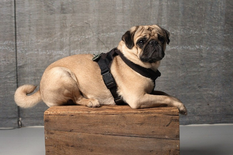 pug in a harness