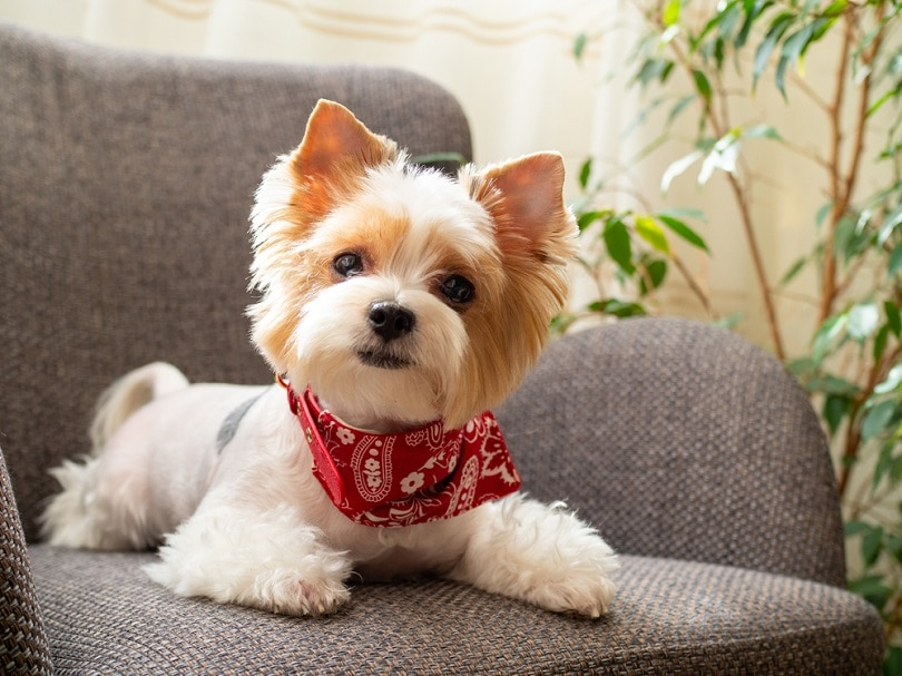 puppy-dog-biewer-Yorkshire-terrier_Svetlana_Khoruzhaia_shutterstock