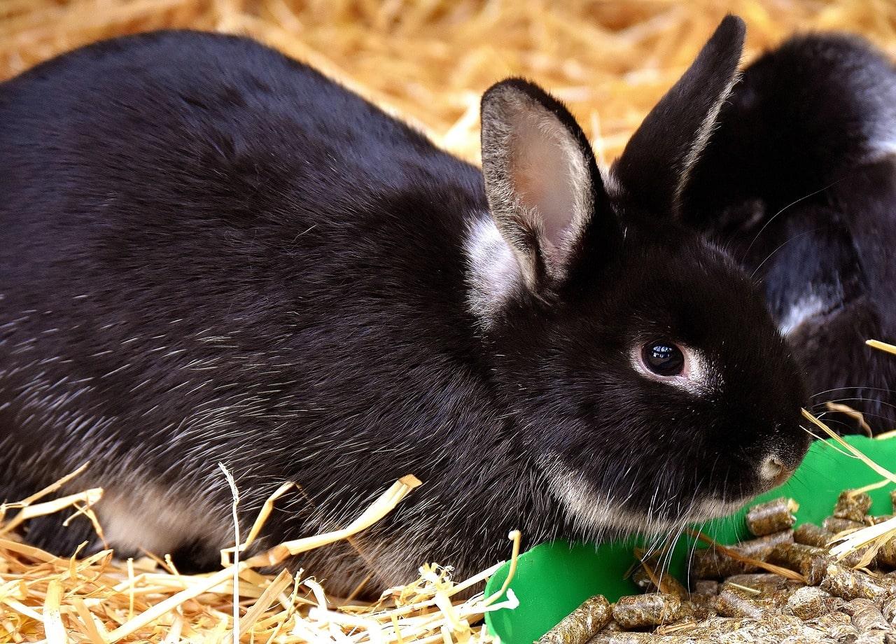 rabbit eating pellets