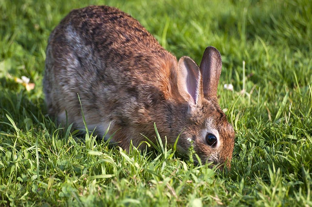 rabbit eating poop