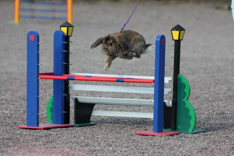 rabbit jumping_Fruitpunchli_Wikimedia