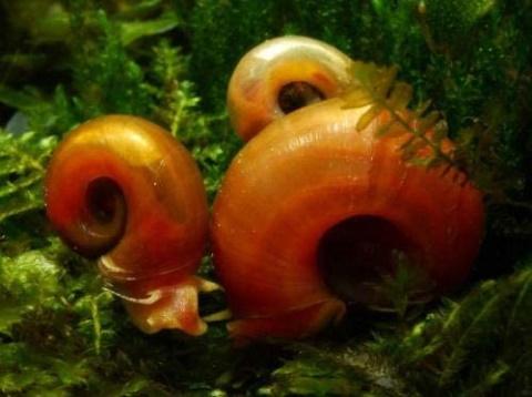 ramshorn Snails_Amazon
