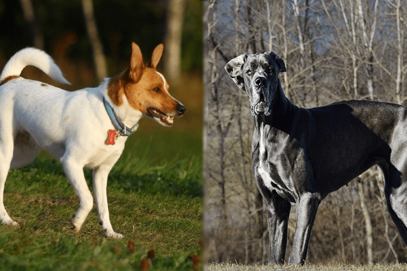 rat terrier and great dane