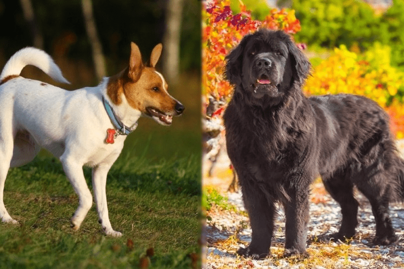 rat terrier and newfoundland
