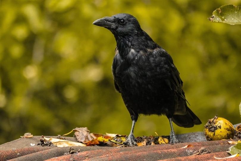 raven-bird_ChiemSeherin_Pixabay