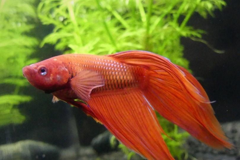 red betta fish_Pixabay
