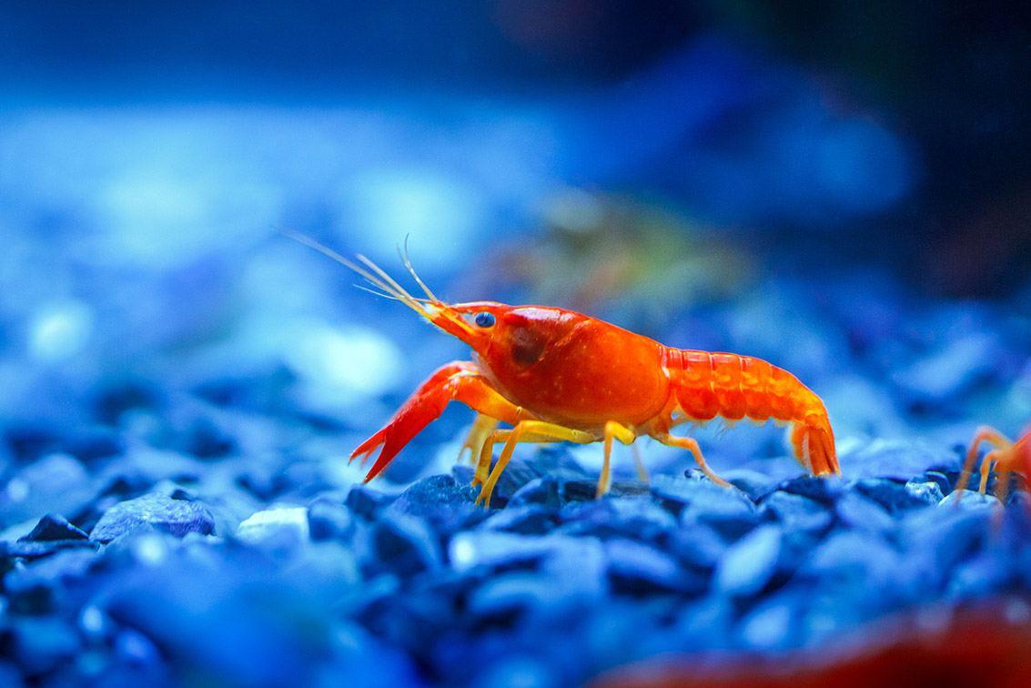 red crayfish in aquarium