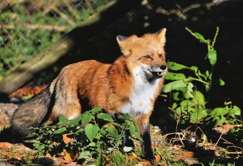 red-fox_Capri23auto_Pixabay