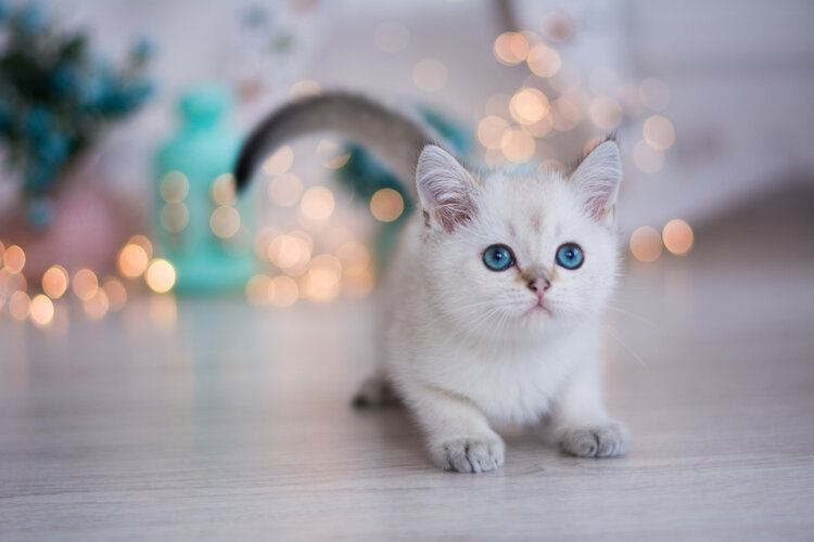 white fluffy munchkin cat