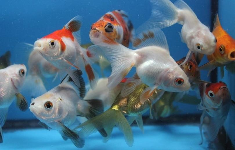 ryukin 5 Pack Live sm. Mixed Goldfish_Amazon