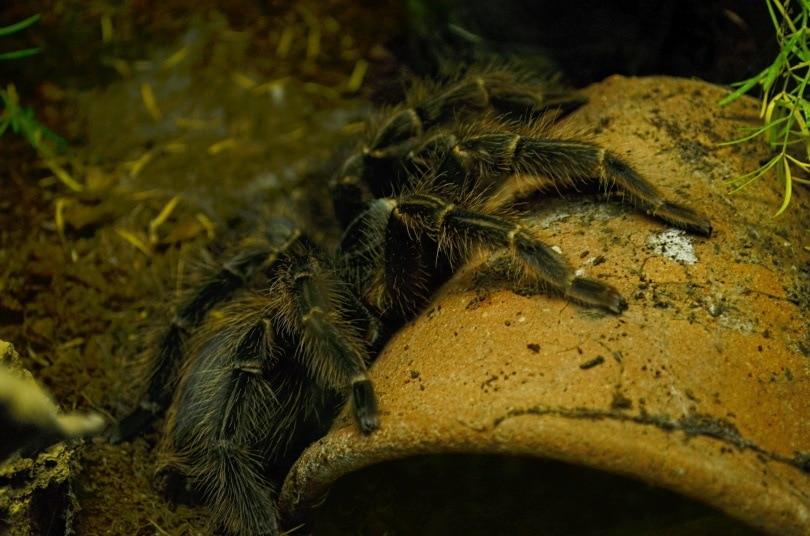 salmon birdeater tarantula_Heldor_Shutterstock