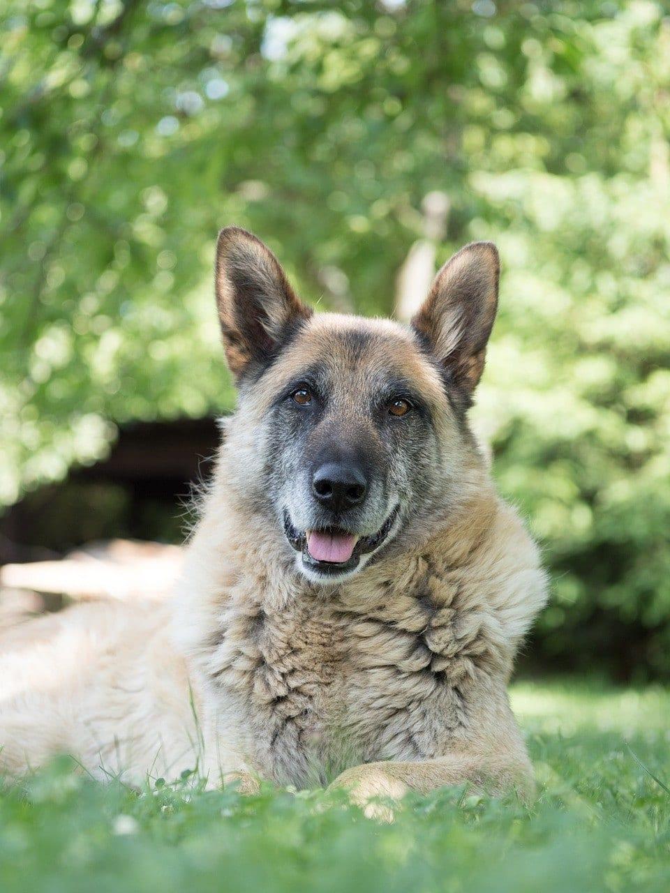 senior german shepherd