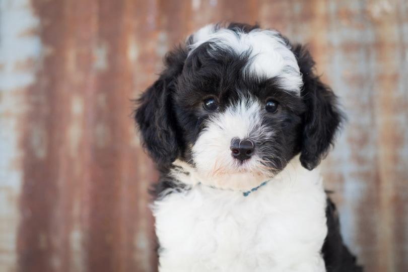 sheepadoodle puppy_Jill Verduin_Pixabay