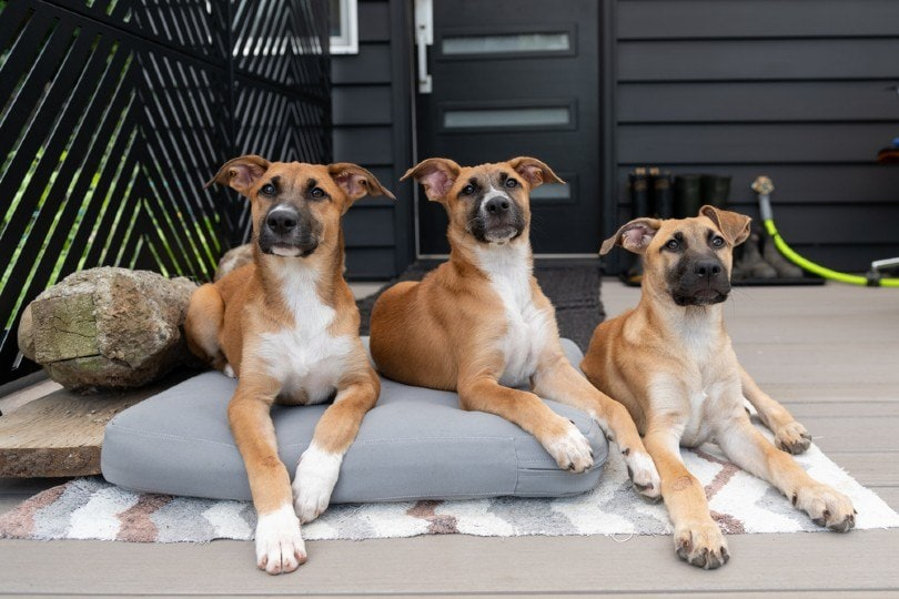 shorthaired Black Mouth Cur puppies