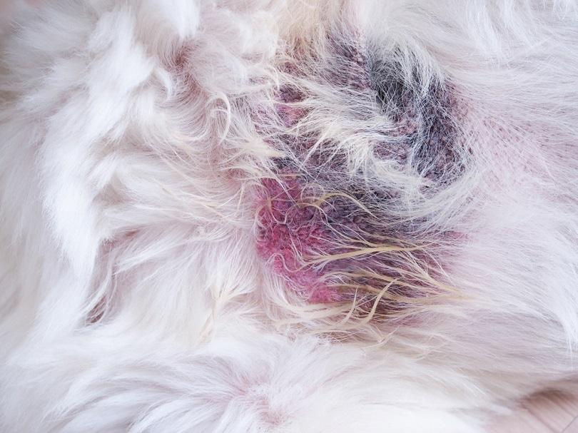 sick-dog-with-inflammation_Kittima05_shutterstock