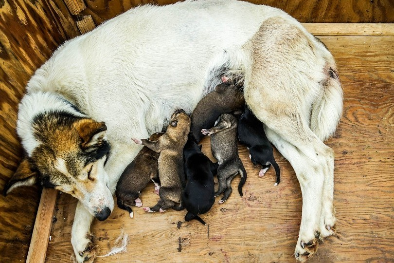sled dog with puppies