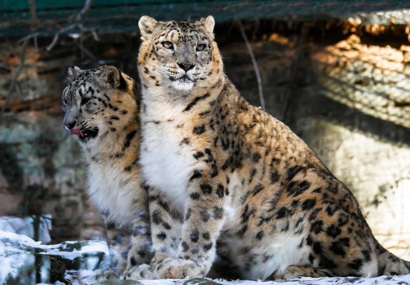 snow leopard_Gerhard G._Pixabay