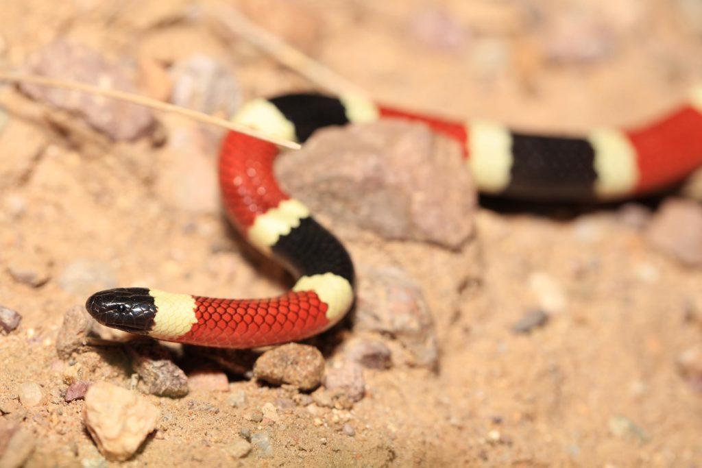 sonoran shovel nosed snake