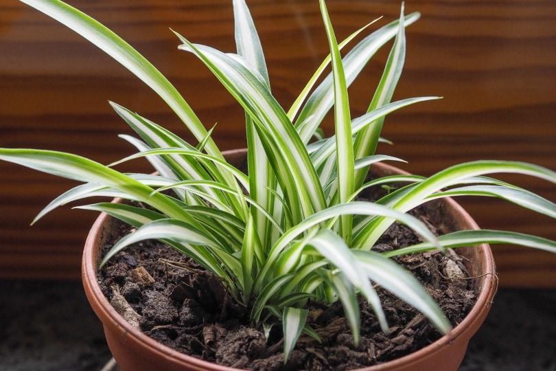 spider plant_t50_Shutterstock