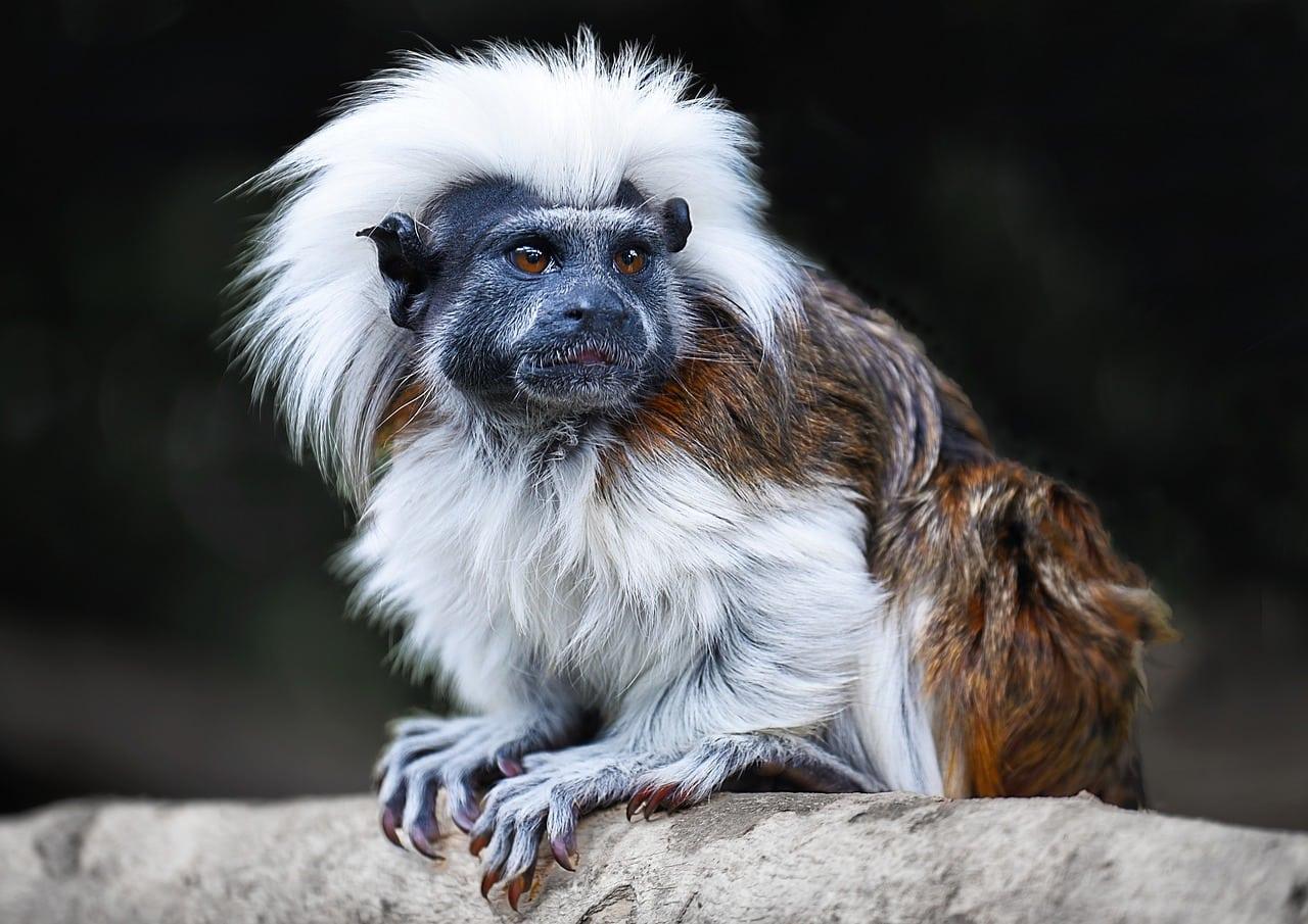 tamarin monkey