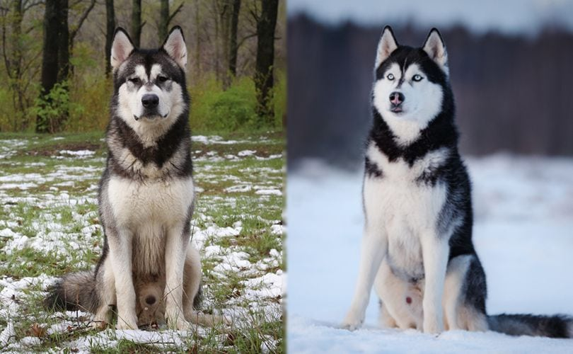 the parent breeds of alusky
