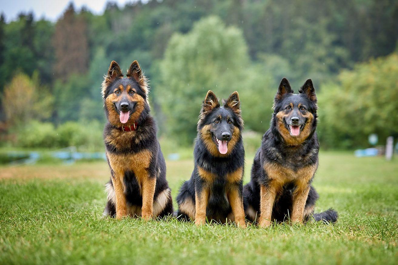 Three Bohemian shepherds