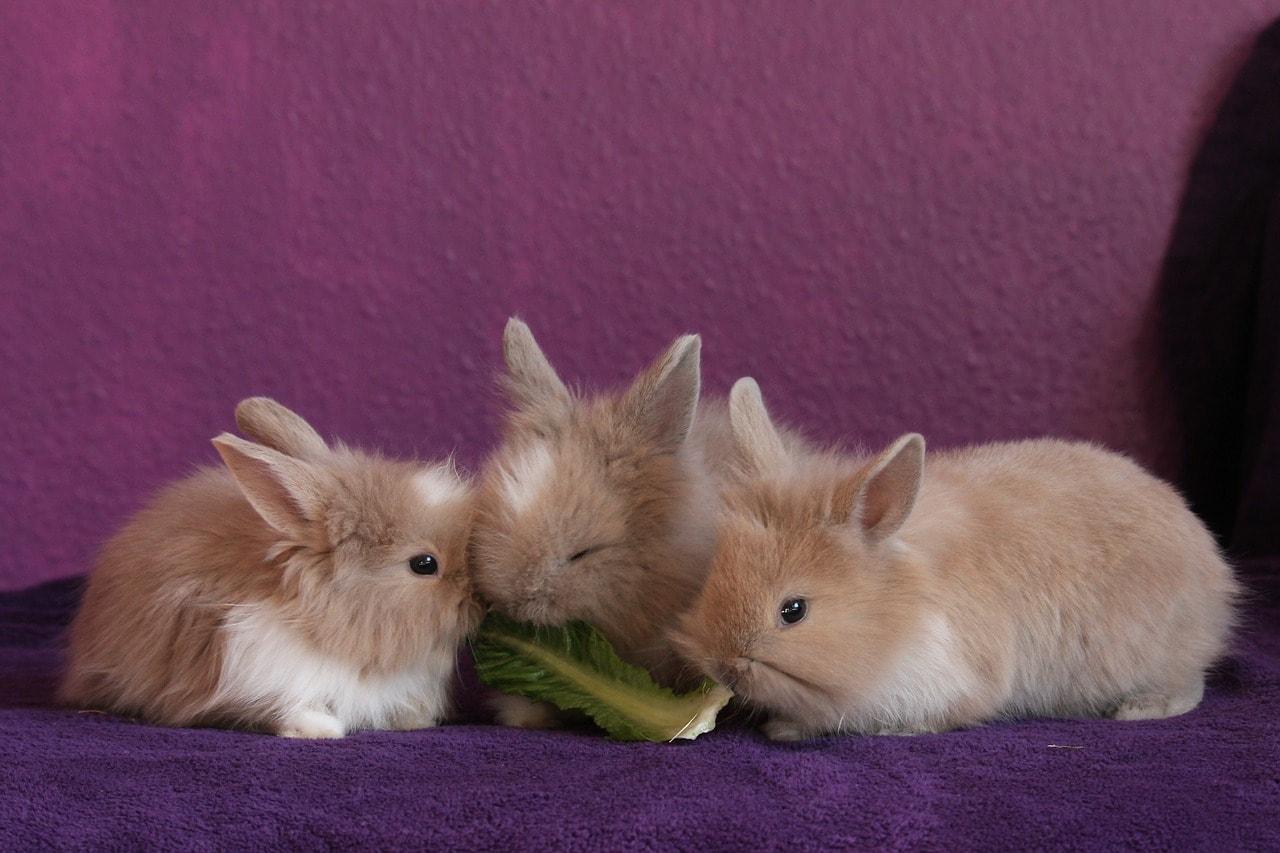 three rabbits eating
