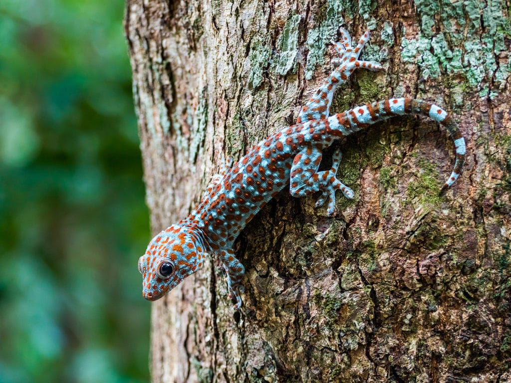 tokay gecko on a tree