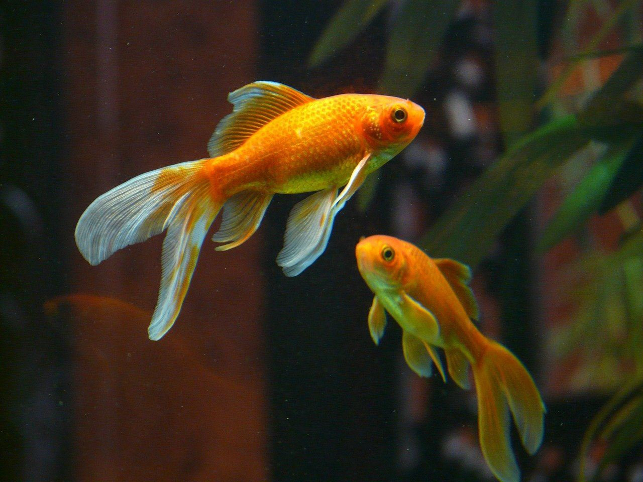 two goldfish veiltail