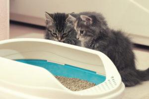 two kittens cats litter box