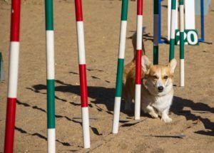welsh corgi pembroke agility training