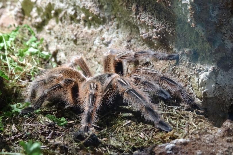 western desert tarantula_nacht57_Pixabay