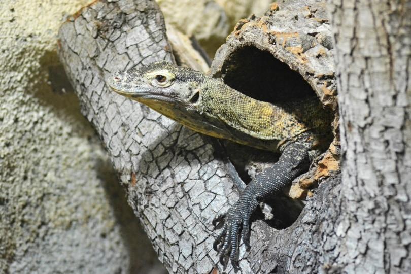 white monitor lizard_Piqsels